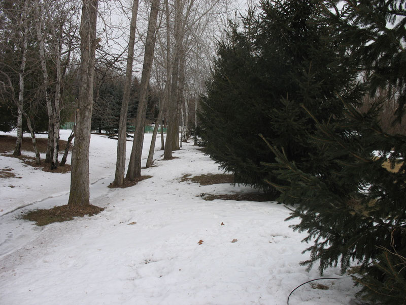 Pines on the property line